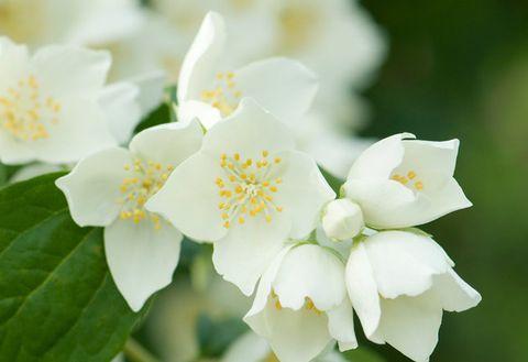 Flower, Flowering plant, White, Petal, Plant, mock orange, Botany, Spring, Rosa omeiensis, Jasmine,