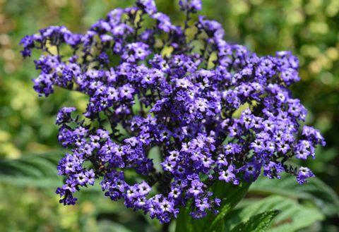 Flower, Flowering plant, Lavender, Purple, Plant, Lilac, Subshrub, buddleia, Groundcover, Violet family,