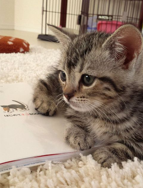 Whiskers, Vertebrate, Small to medium-sized cats, Cat, Felidae, Carnivore, Kitten, Pet supply, Fur, Fawn,
