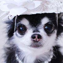 Vertebrate, Dog breed, Carnivore, Dog, Iris, Puppy, Toy dog, Snout, Costume accessory, Black,