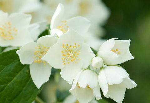 Flower, Flowering plant, White, Petal, Plant, mock orange, Botany, Spring, Jasmine, Rosa omeiensis,