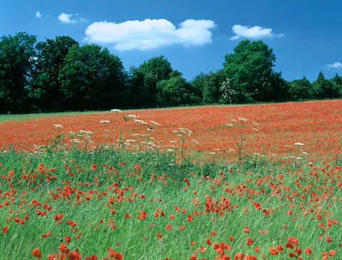 Field, Coquelicot, Meadow, Flower, Natural landscape, Grassland, Red, Plant, Natural environment, Wildflower,