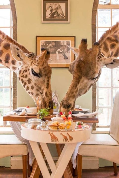 Giraffe, Giraffidae, Terrestrial animal, Wildlife, Room, Interior design, Table, Furniture, Tree, Fawn,