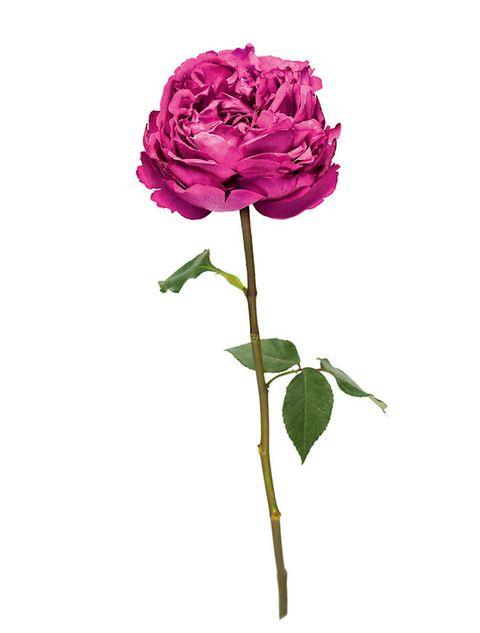 Flower, Flowering plant, Plant, Pink, Cut flowers, Garden roses, Rosa × centifolia, Floribunda, Rose, Petal,