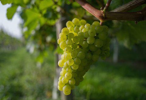 Grape, Seedless fruit, Grapevine family, Plant, Fruit, Flowering plant, Flower, Vitis, Fruit tree, Food,