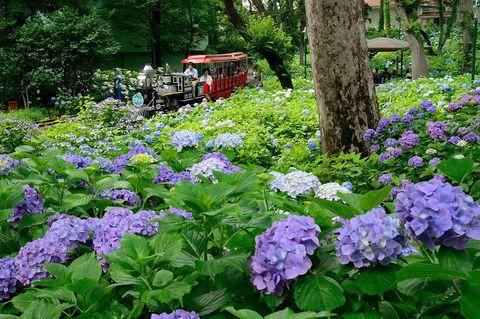 Flower, Flowering plant, Plant, Hydrangeaceae, Hydrangea, Groundcover, Dame's rocket, Leaf, Purple, Botany,