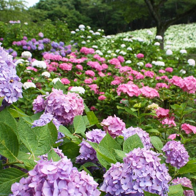 Flower, Flowering plant, Hydrangea, Hydrangeaceae, Plant, Shrub, Lilac, Cornales, Botany, Groundcover,