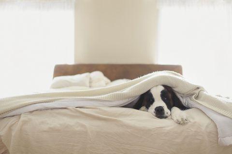 Bed sheet, Bed, Bedding, Furniture, Room, Comfort, Bedroom, Canidae, Companion dog, Linens,