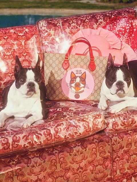 Dog, Vertebrate, Canidae, Mammal, French bulldog, Boston terrier, Dog breed, Carnivore, Non-Sporting Group, Companion dog,
