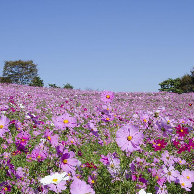 Flower, Flowering plant, Plant, Garden cosmos, Cosmos, Wildflower, Meadow, Petal, Spring, Daisy family,