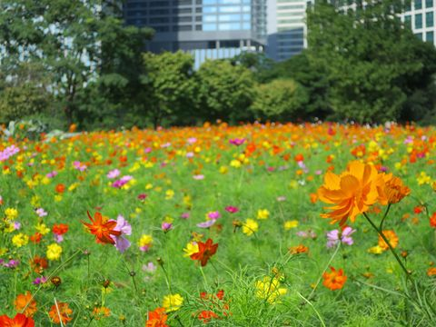 Flower, Flowering plant, Sulfur Cosmos, Plant, Garden cosmos, Meadow, Wildflower, Natural landscape, Cosmos, Daisy family,