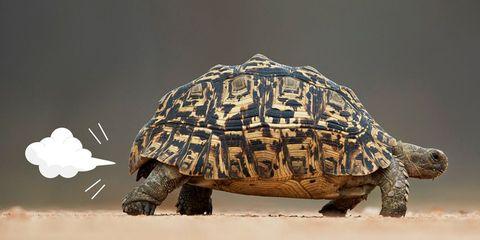 Tortoise, Vertebrate, Reptile, Turtle, Pond turtle, Box turtle, Common snapping turtle, Chelonoidis, Sea turtle, Terrapin,
