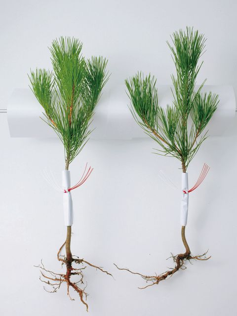 Branch, Leaf, Twig, Woody plant, Botany, Plant stem, Natural material, Conifer, Pine family, Cypress family,