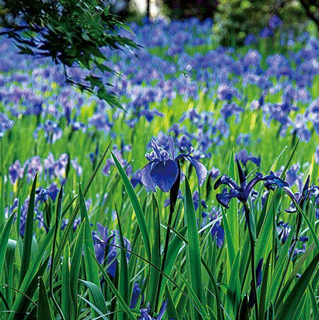 Flower, Flowering plant, Plant, Blue, Grass, Spring, Grass family, Scilla, Iris, Meadow,