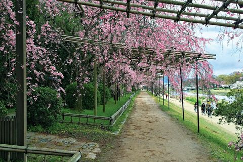 Petal, Flower, Shrub, Garden, Pink, Blossom, Botany, Groundcover, Spring, Walkway,