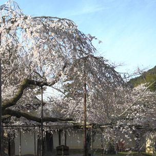 Nature, Branch, Twig, Botany, Shade, Spring, Blossom, Cherry blossom, Yard,