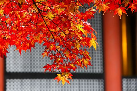 Deciduous, Yellow, Orange, Red, Leaf, Colorfulness, Autumn, Amber, Twig, Woody plant,