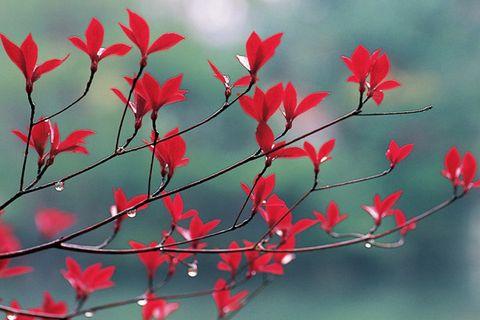 Red, Branch, Flower, Plant, Leaf, Twig, Botany, Tree, Petal, Flowering plant,