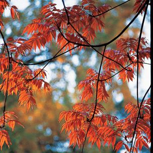 Tree, Leaf, Plant, Branch, Autumn, Red, Woody plant, Northern hardwood forest, Twig, Maple,