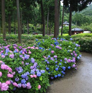 Plant, Shrub, Flower, Garden, Purple, Groundcover, Flowering plant, Annual plant, Lavender, Spring,