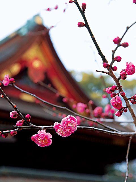 Branch, Twig, Pink, Magenta, Petal, Blossom, Spring, Still life photography, Pedicel, Prunus,