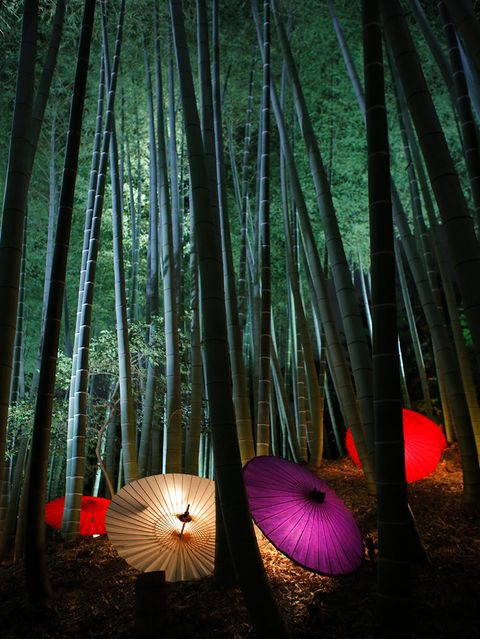 Lighting, Natural environment, Tints and shades, Magenta, Forest, Biome, Terrestrial plant, Umbrella, Woodland, Jungle,