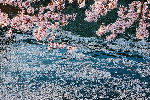 Flower, Pink, Petal, Blossom, Spring, Cherry blossom,