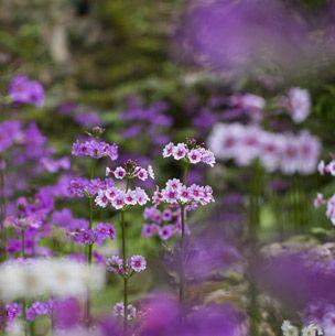 Purple, Flower, Lavender, Violet, Petal, Flowering plant, Wildflower, Botany, Magenta, Spring,