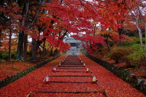 Plant, Deciduous, Leaf, Red, Woody plant, Garden, Autumn, Stairs, Groundcover, Plantation,