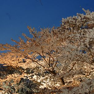 Branch, Nature, Twig, Woody plant, Botany, Spring, Deciduous, Blossom, Cherry blossom, Autumn,