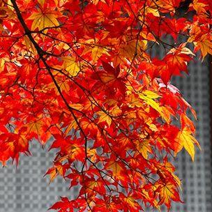 Nature, Yellow, Orange, Deciduous, Leaf, Red, Twig, Amber, Autumn, Woody plant,