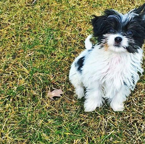 Grass, Dog, Carnivore, Dog breed, Toy dog, Puppy, Snout, Working animal, Companion dog, Terrier,