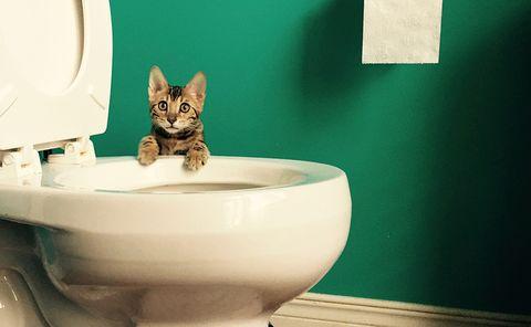 Cat, Felidae, Green, Small to medium-sized cats, Bathroom, Toilet, Plumbing fixture, Room, Bidet, Whiskers,