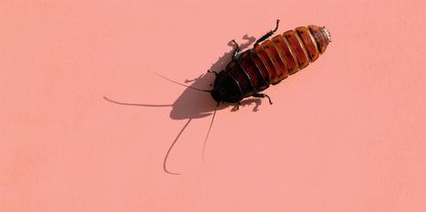 Invertebrate, Arthropod, Insect, Organism, Pest, Amber, Cockroach, Parasite, Peach, Oniscidea,