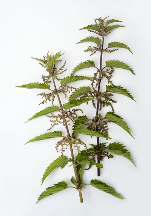 "<p>Never heard of drinking nettles before? Neither had we, but here Bajaj breaks down why the plant could be a helpful and healthy substitute for caffeine binges: ""Everyone knows about green tea and black tea, but one thing that is an interesting substitute is nettles. Nettles are like herbs. They have so many <a href=""http://www.webmd.com/vitamins-supplements/ingredientmono-664-stinging%20nettle.aspx?activeingredientid=664"" target=""_blank"">medicinal properties</a> and have so many good uses. Specifically, it can be great for people who get fall allergies."" </p><p><br> </p><p>""To prepare the infusion, steep nettles for at least four hours: add hot water and put it in a jar, then let it sit overnight,"" recommends Bajaj. ""Nettles release a lot of minerals into the water.  There's iron in it and it helps counteract hair loss. It's nothing like coffee, so it's good for your adrenals, whereas coffee is taxing on your adrenals and increases your cortisol levels, which are your stress hormones."" </p>"