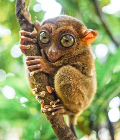animals tarsier primate mouse pygmy lemur madagascar bohol tiny worlds switzerland daniel long found print palm oldest fretful animal getty