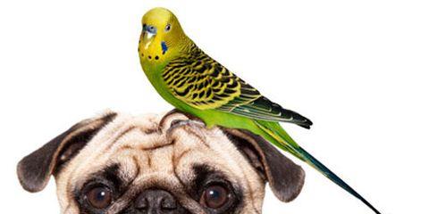 pug and bird good household pets