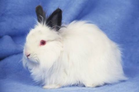 Blue, Skin, Vertebrate, White, Rabbits and Hares, Rabbit, Iris, Black, Snout, Electric blue,