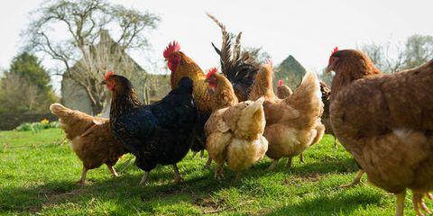 Green, Grass, Phasianidae, Galliformes, Vertebrate, Bird, Organism, Chicken, Beak, Fowl,