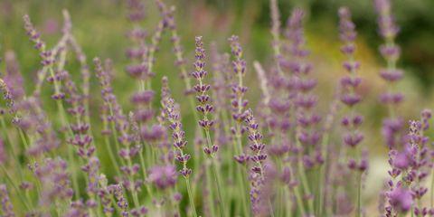 Plant, Purple, Lavender, Herbaceous plant, Wildflower, Meadow, Prairie, Subshrub, Lavender, Annual plant,
