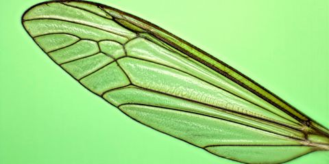 Mosquito wing