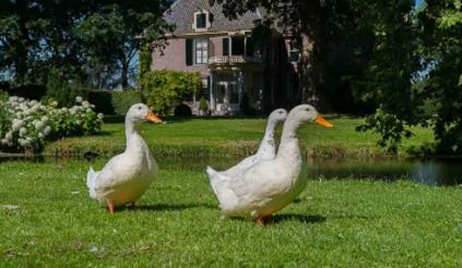 Nature, Grass, Window, Bird, Property, Ducks, geese and swans, Photograph, White, Water bird, Waterfowl,