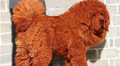 Brown, Organism, Dog breed, Orange, Carnivore, Chow chow, Dog, Snout, Terrestrial animal, Liver,