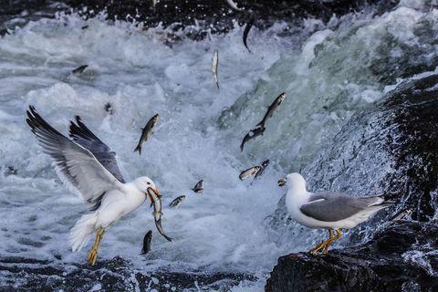 bird, water, beak, wave, gull, western gull, seabird, european herring gull, shorebird, wildlife,