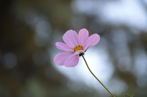Flower, Flowering plant, Petal, Pink, Plant, Close-up, Spring, Wildflower, Botany, Macro photography,