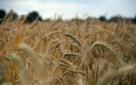 Triticale, Rye, Barley, Malt, Field, Grain, Crop, Cereal germ, Hordeum, Food grain,