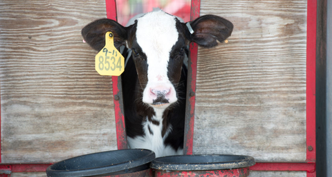 Bovine, Dairy cow, Cow-goat family, Dairy, Snout, Livestock, Calf, Food,