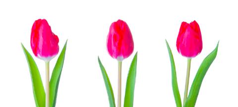 Tulip, Petal, Flower, Cut flowers, Plant, Botany, Flowering plant, Bud, Plant stem, lady tulip,