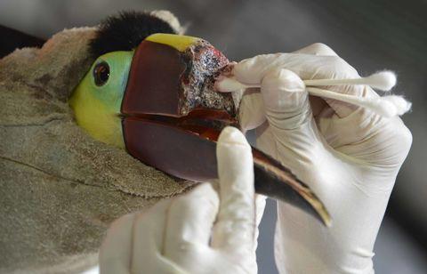 Grecia the damaged toucan