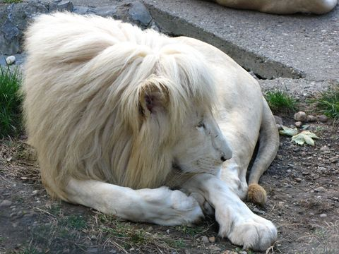Carnivore, Adaptation, Felidae, Terrestrial animal, Soil, Snout, Fawn, Blond, Fur, Grass family,